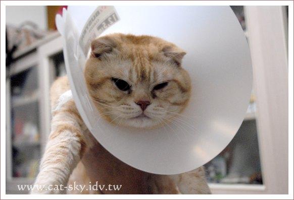肥豆的眼角膜受傷了,要擦藥,防止他去揉眼睛,要戴上俗稱[小花]的頭套.