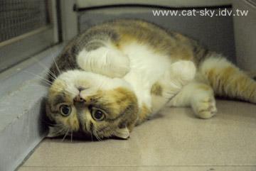 小肥糖學水獺  來個 貓獺躺........