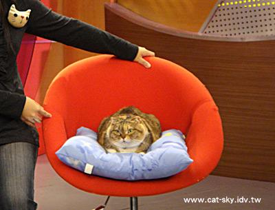 貓咪大來賓 小肥糖 窩在紅咚咚的沙發椅上