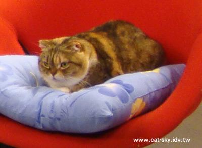 小肥糖是這次寵物聚樂部的超級貓咪大來賓