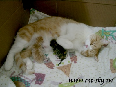 包子與小肥糖出生當天 (貓媽媽是圓圓)