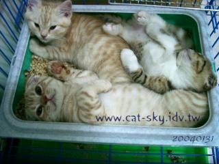 三隻小貓睡在貓砂裡