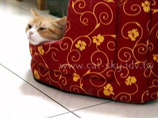 小P家的圓圓貓-掛頭貓圓圓