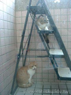 暫時用梯子讓貓咪上下陽台