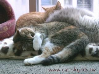 貓咪抱頭睡